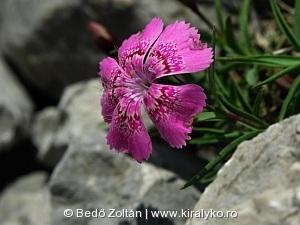 Királykői-szegfű (Dianthus callizonus)